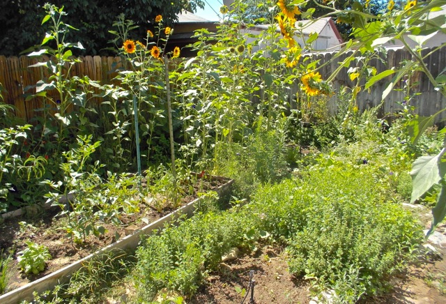 A forest of sunflowers and lots of volunteer herbs and flowers dominate this year. I may try to get things a little more organized next year, but for now, happy to see them all growing on their own.