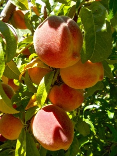 We have a boatload of peaches on this tree, even though it badly needs pruning and the wind broke a large branch.