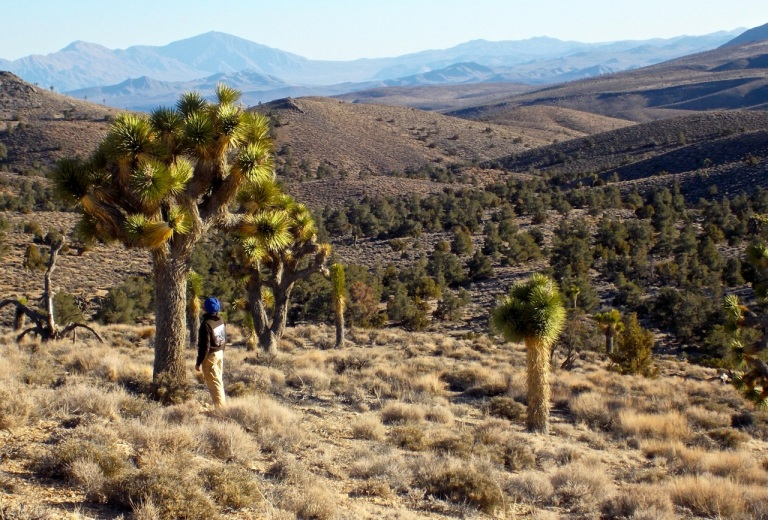 Very large and healthy Joshua trees around camp!