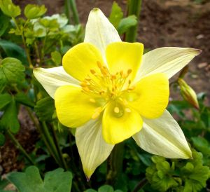 Garden also features columbine in various colors.