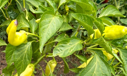 Getting a good crop of chile peppers this season.