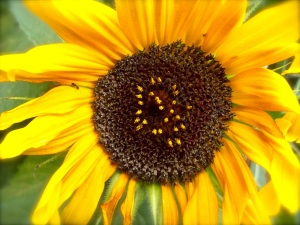 One of the 5000 sunflowers in the yard. Bees and birds are very happy about them.