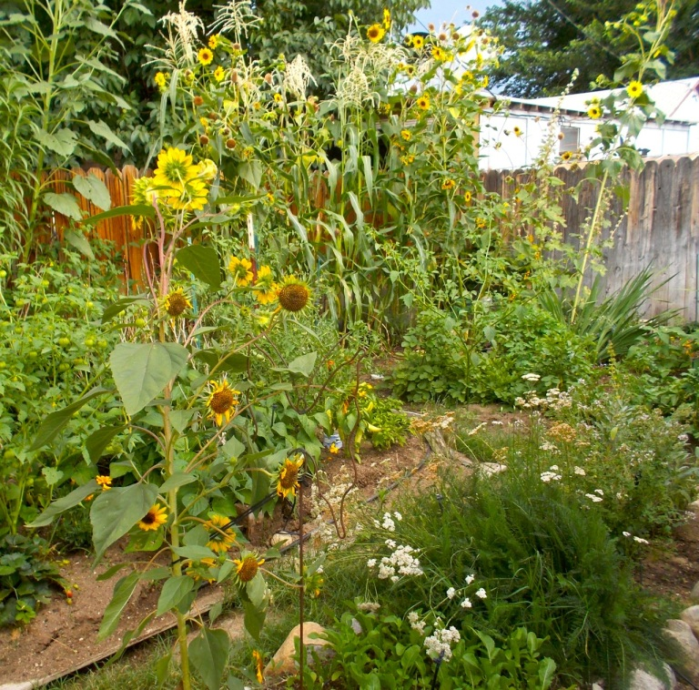 An August jumble of giant sunflowers, corn, hibiscus, beans, tomatoes, potatoes, sundry herbs ...